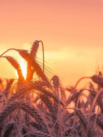 wheat-field2