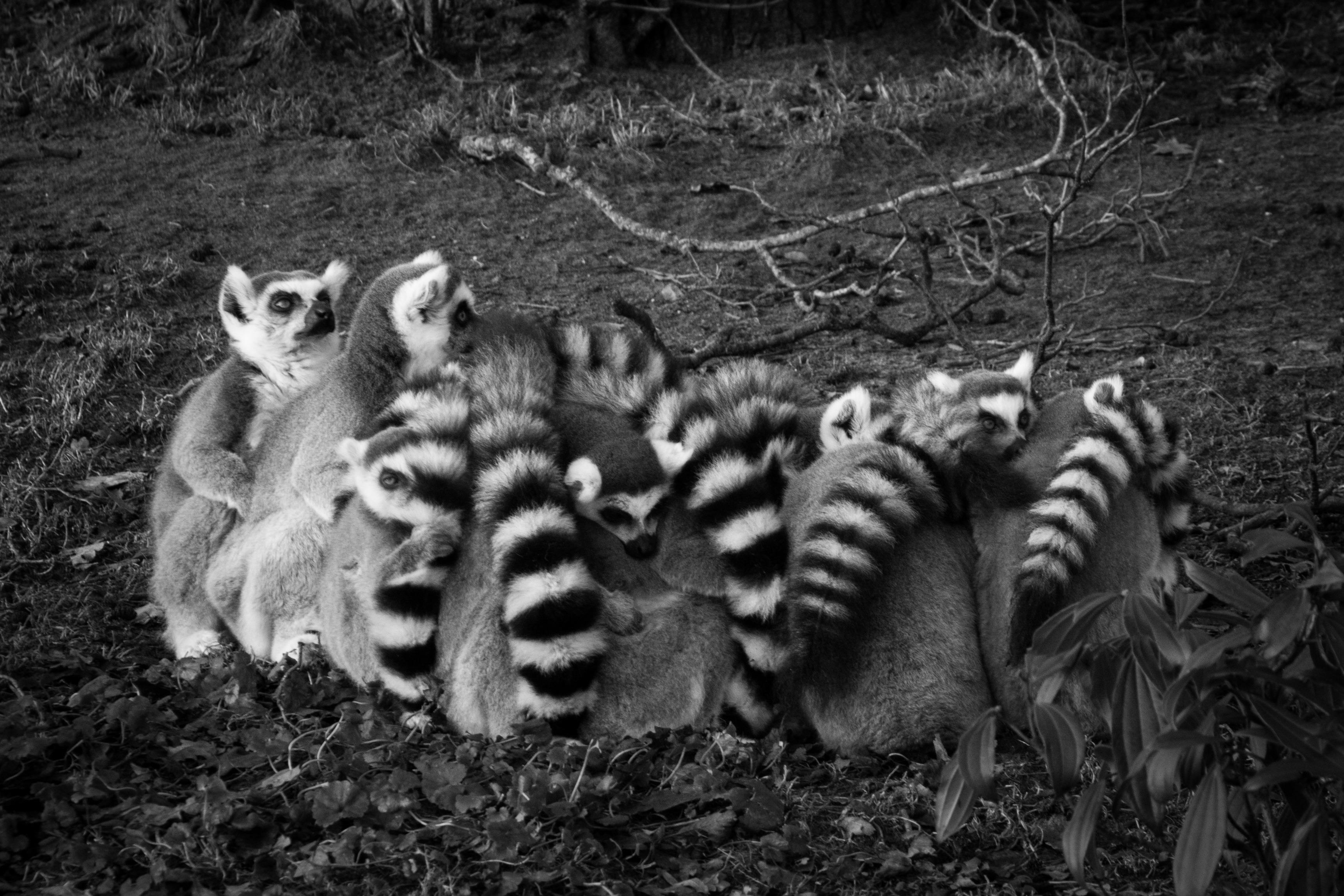 lemurfamilyclimatechange