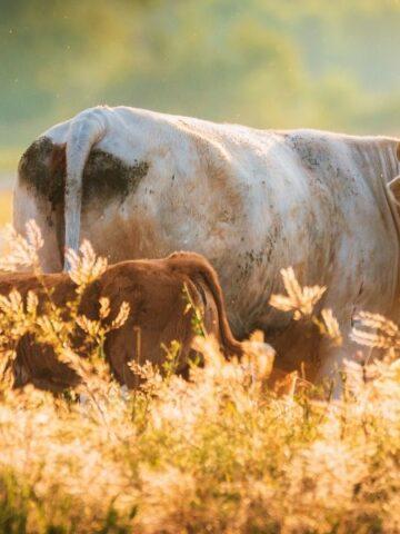 Cows on a regenerative farm