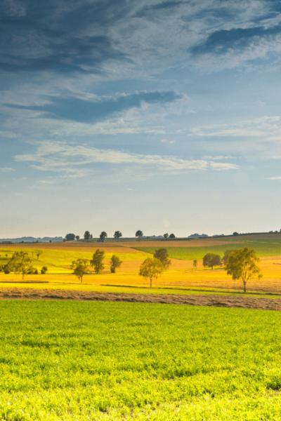 yellow-field