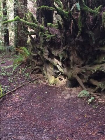 Rebecca B. Kimber with fallen redwood tree