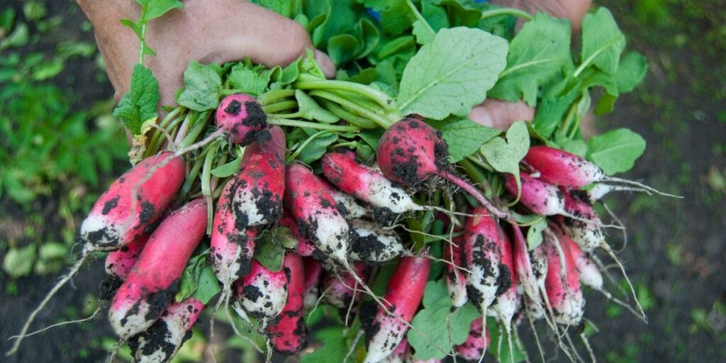 Radishes grown in a sustainable home garden