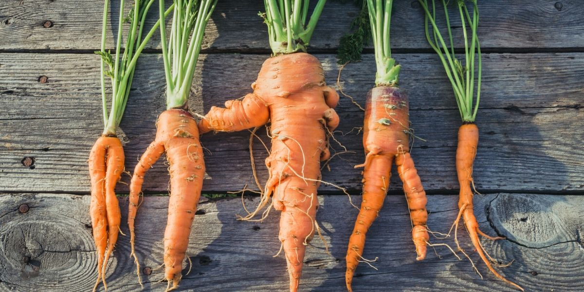 Ugly carrots that might have been thrown away.