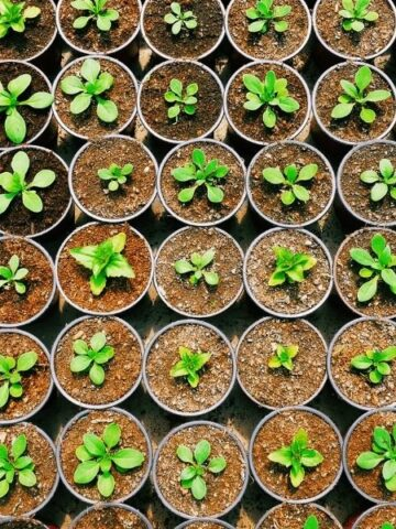 Rows of seedlings in photo taken from above.